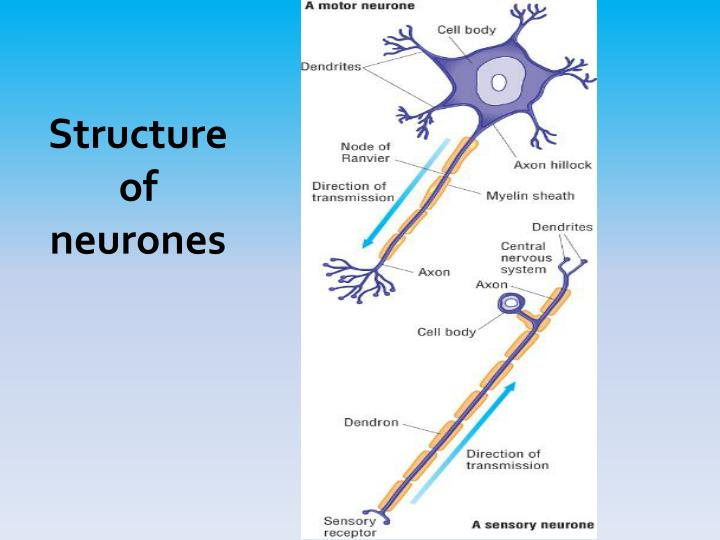 Structure of neurones