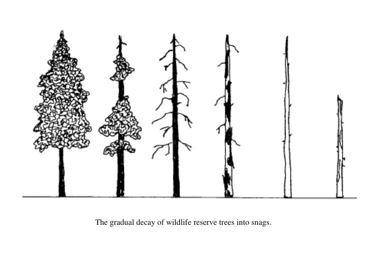 The gradual decay of wildlife reserve trees into snags.