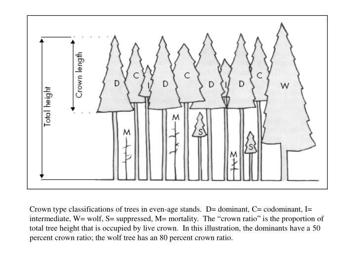 """Crown type classifications of trees in even-age stands.  D= dominant, C= codominant, I= intermediate, W= wolf, S= suppressed, M= mortality.  The """"crown ratio"""" is the proportion of total tree height that is occupied by live crown.  In this illustration, the dominants have a 50 percent crown ratio; the wolf tree has an 80 percent crown ratio."""