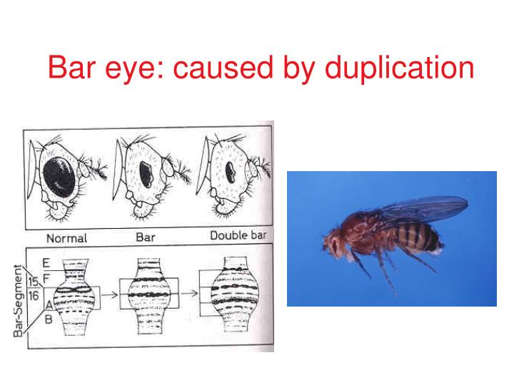 Bar eye: caused by duplication