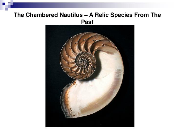 The Chambered Nautilus – A Relic Species From The Past