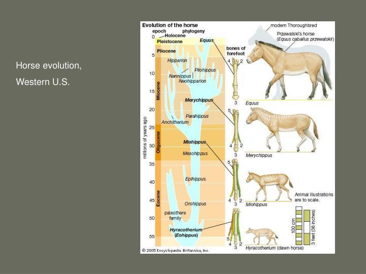 Horse evolution,