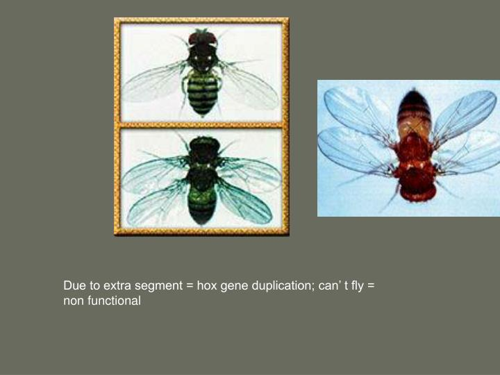 Due to extra segment = hox gene duplication; can' t fly = non functional