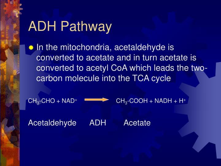 ADH Pathway