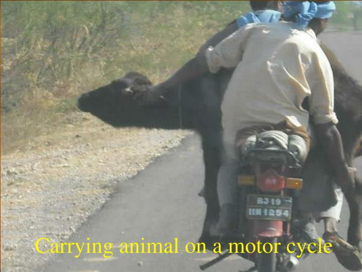 Carrying animal on a motor cycle