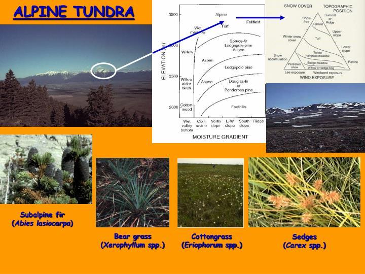 ALPINE TUNDRA