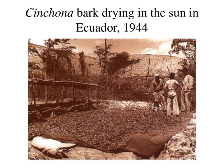 Cinchona
