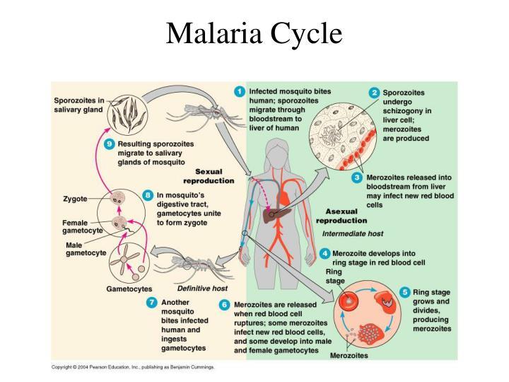 Malaria Cycle