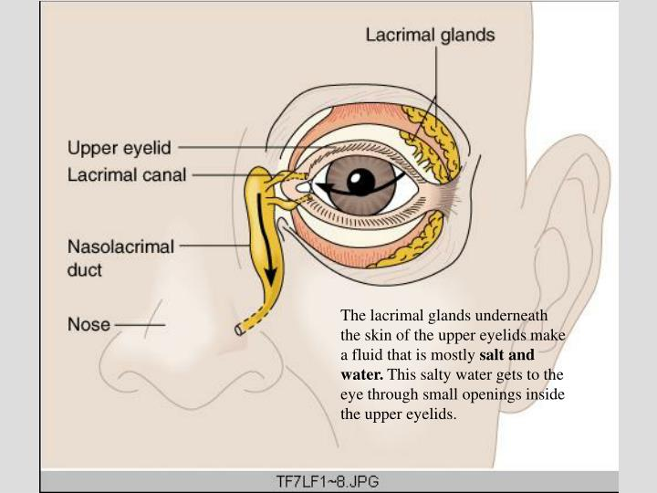 The lacrimal glands underneath the skin of the upper eyelids make a fluid that is mostly