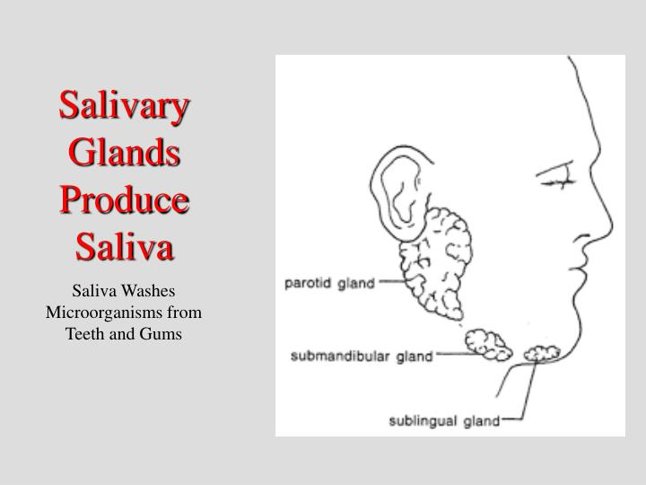 Salivary Glands Produce Saliva