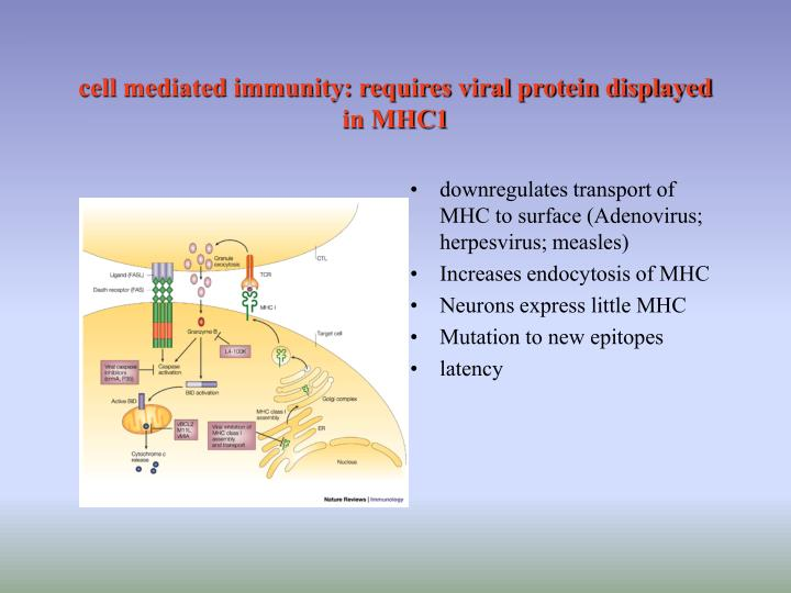 cell mediated immunity: requires viral protein displayed in MHC1