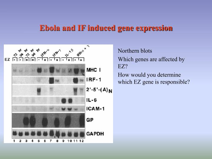 Ebola and IF induced gene expression