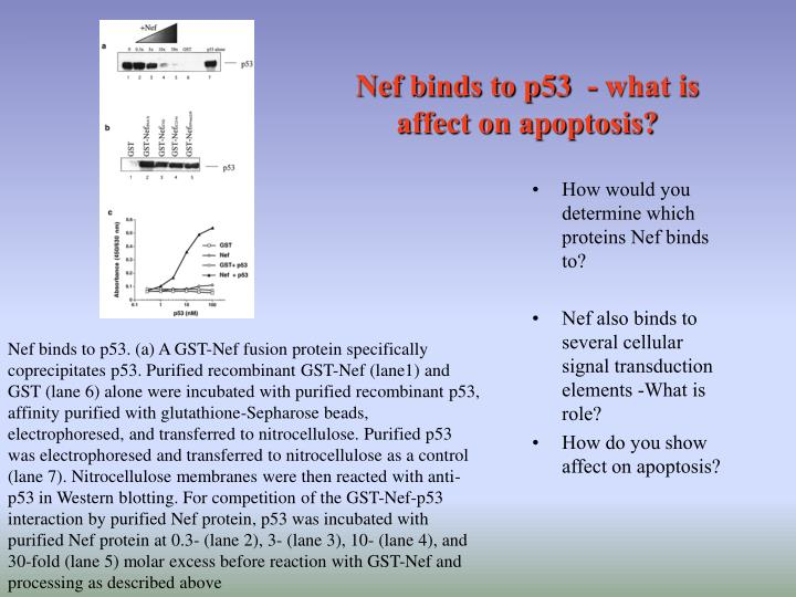 Nef binds to p53  - what is affect on apoptosis?