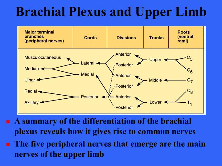 Brachial Plexus and Upper Limb