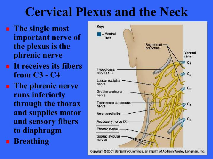 Cervical Plexus and the Neck