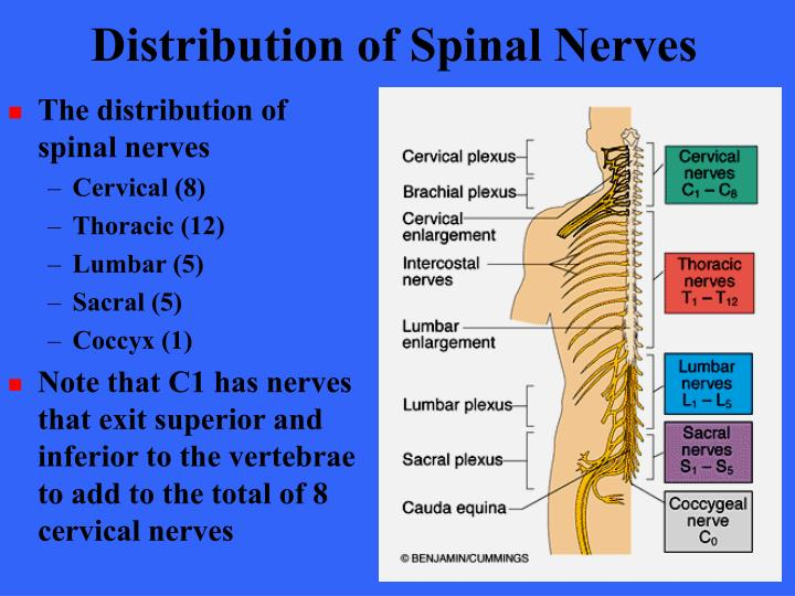 Distribution of Spinal Nerves