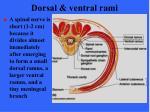 dorsal ventral rami