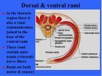 dorsal ventral rami1