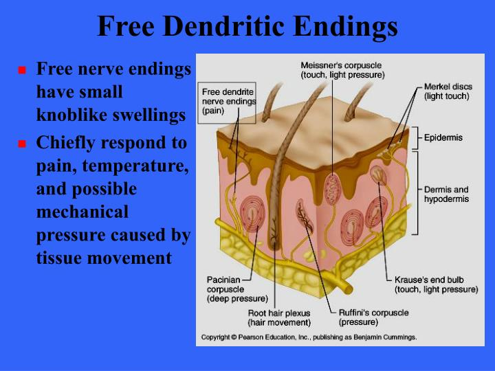 Free Dendritic Endings