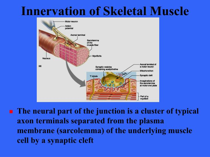 Innervation of Skeletal Muscle