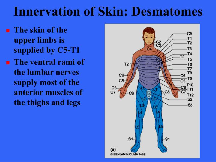 Innervation of Skin: Desmatomes