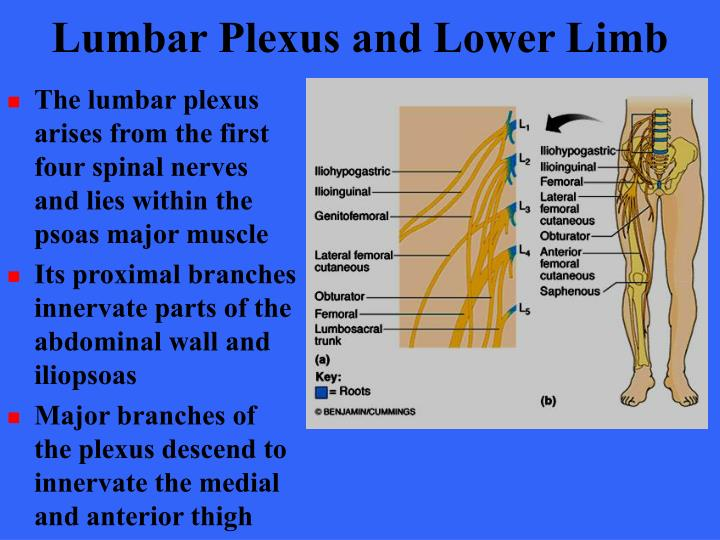 Lumbar Plexus and Lower Limb