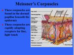 meissner s corpuscles1