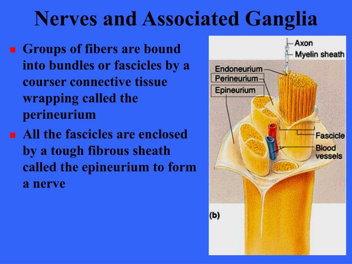 Nerves and Associated Ganglia