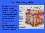 pacinian corpuscles