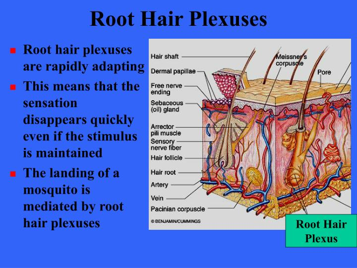 Root Hair Plexuses