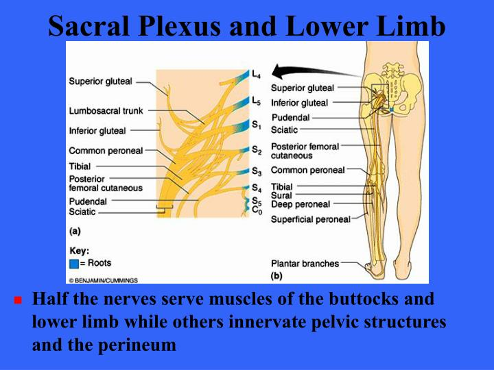 Sacral Plexus and Lower Limb
