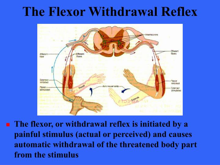The Flexor Withdrawal Reflex