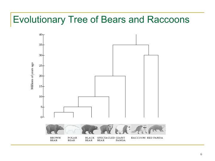 Evolutionary Tree of Bears and Raccoons
