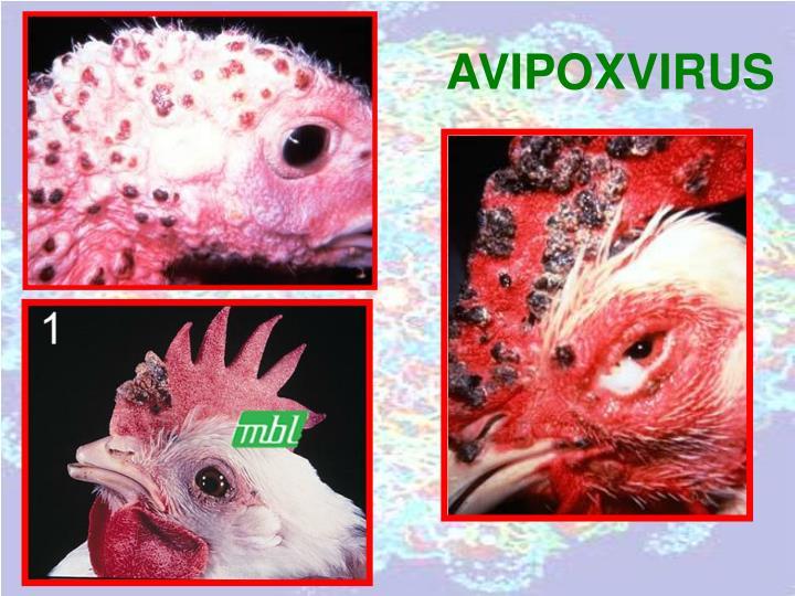 AVIPOXVIRUS