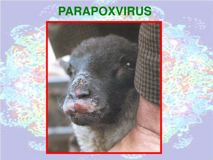 PARAPOXVIRUS