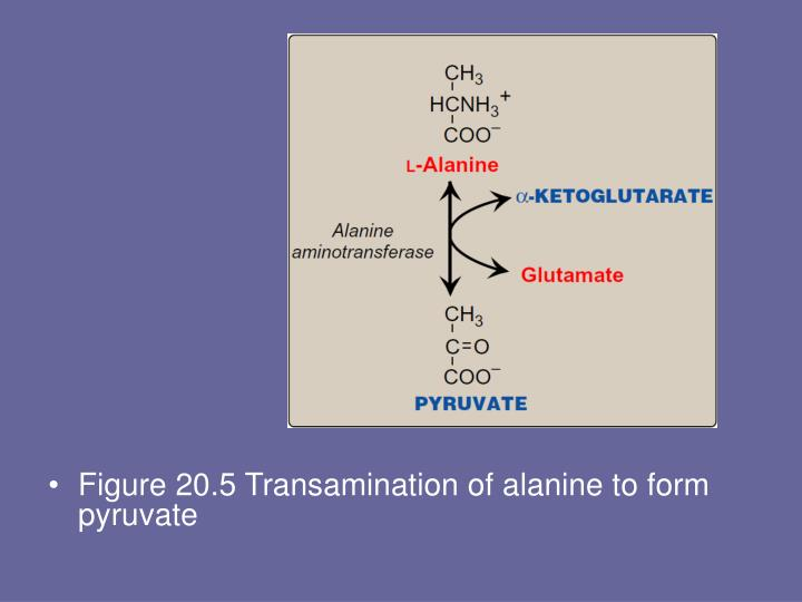 Figure 20.5 Transamination of alanine to form pyruvate