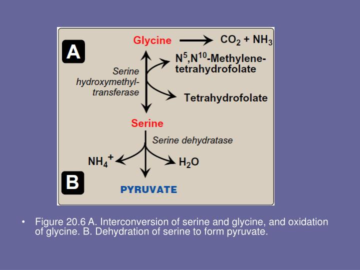 Figure 20.6 A. Interconversion of serine and glycine, and oxidation of glycine. B. Dehydration of serine to form pyruvate.
