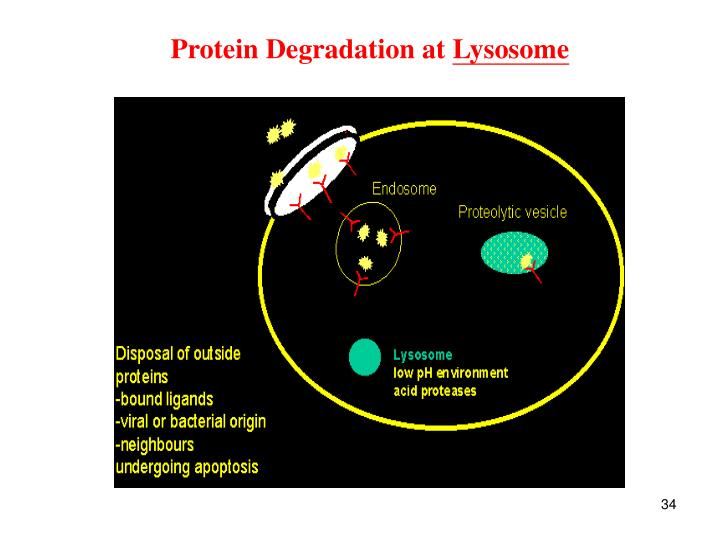 Protein Degradation at