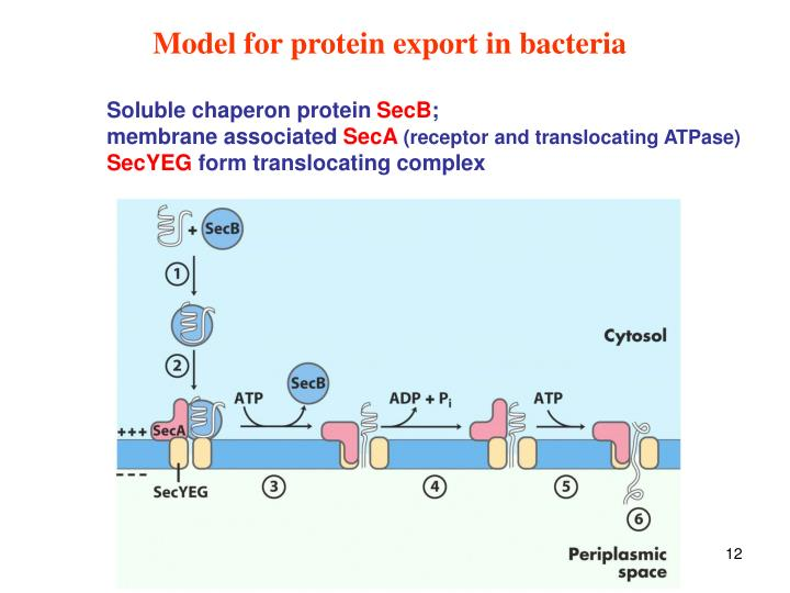 Model for protein export in bacteria