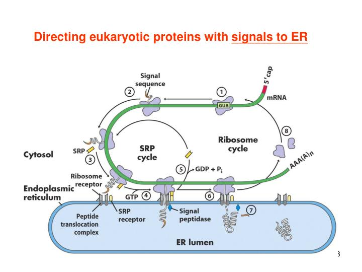 Directing eukaryotic proteins with