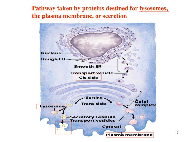 Pathway taken by proteins destined for