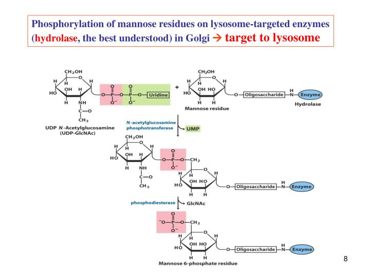 Phosphorylation of mannose residues on lysosome-targeted enzymes