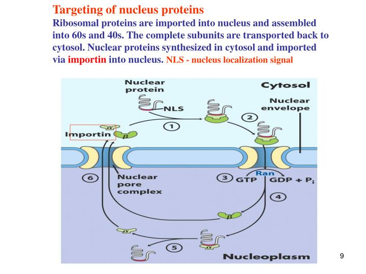 Targeting of nucleus proteins