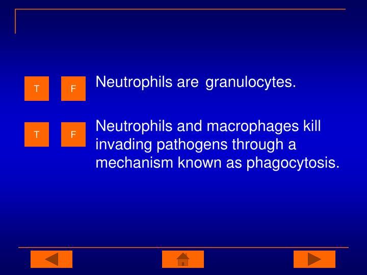 Neutrophils are granulocytes.