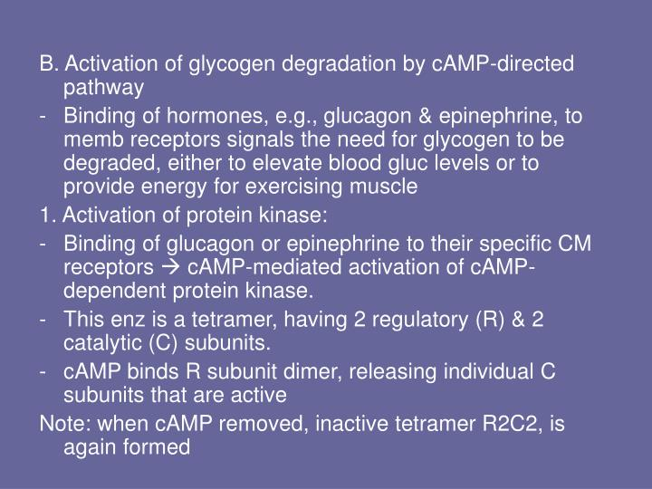 B. Activation of glycogen degradation by cAMP-directed pathway