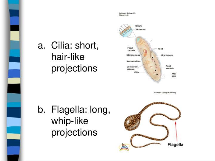 a.  Cilia: short, hair-like projections