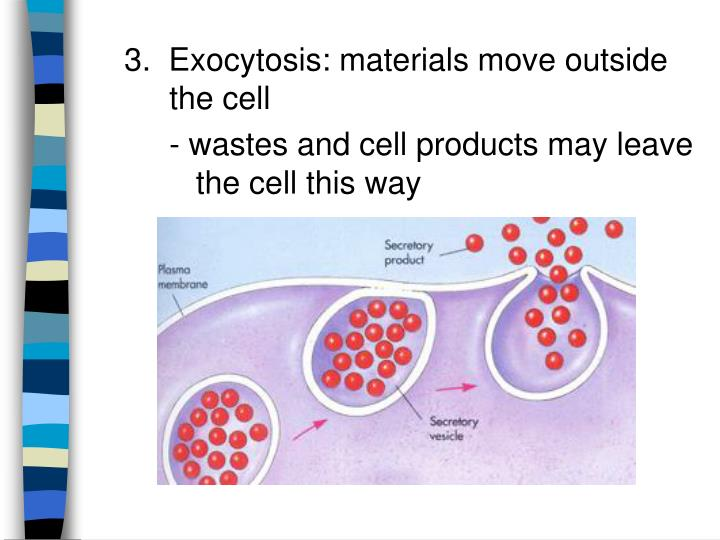 3.  Exocytosis: materials move outside the cell