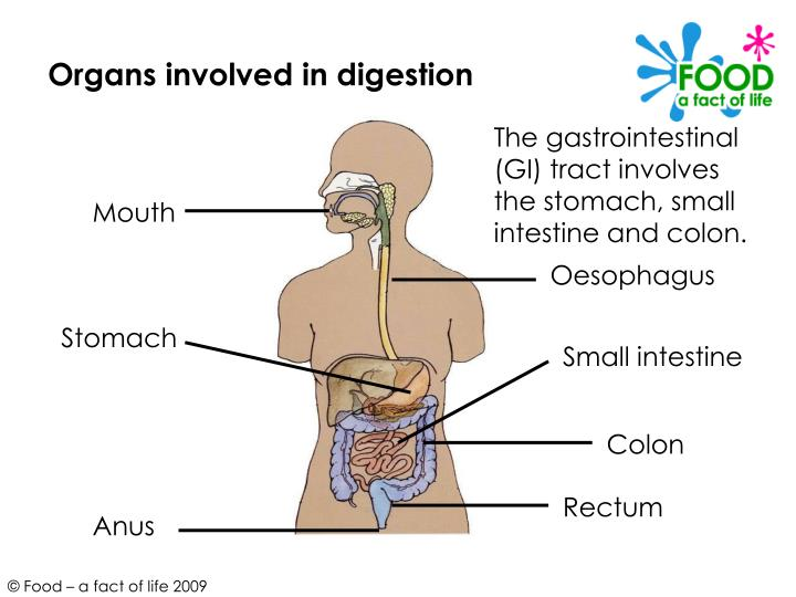 Organs involved in digestion