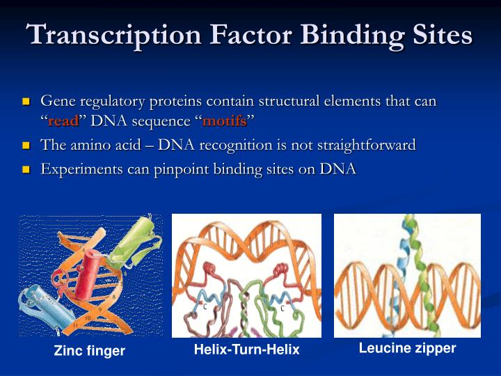 """Gene regulatory proteins contain structural elements that can """""""
