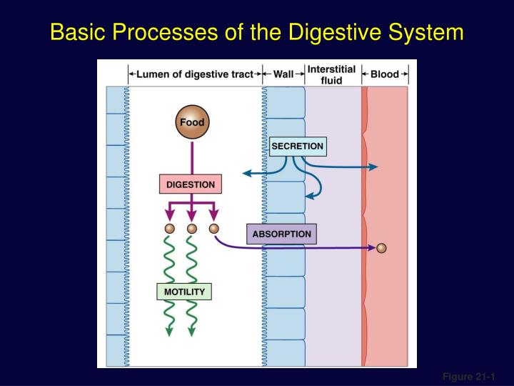 body processes of the digestive system The function of the digestive system is digestion and absorption digestion is the breakdown of food into small molecules, which are then absorbed into the body the digestive system is divided into two major parts: the digestive tract (alimentary canal) is a continuous tube with two openings: the.